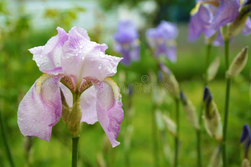 Beautiful iris flower with rain drops in garden, closeup. View stock image