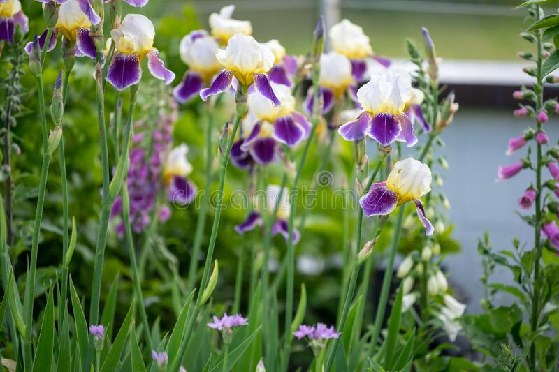 Iris with creme-white, yellow and violet colors flowering in spring garden with foxglove and perennial plants royalty free stock image