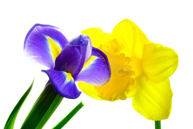 Beautiful iris and narcissus on white background. Beautiful blooming iris and narcissus on white background royalty free stock photos
