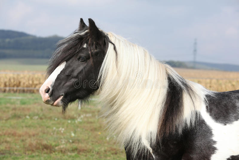 Beautiful irish cob stallion on pasturage. Beautiful irish cob stallion standing on pasturage stock images