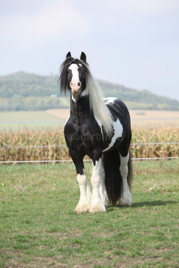 Beautiful irish cob stallion on pasturage. Beautiful irish cob stallion standing on pasturage royalty free stock photo