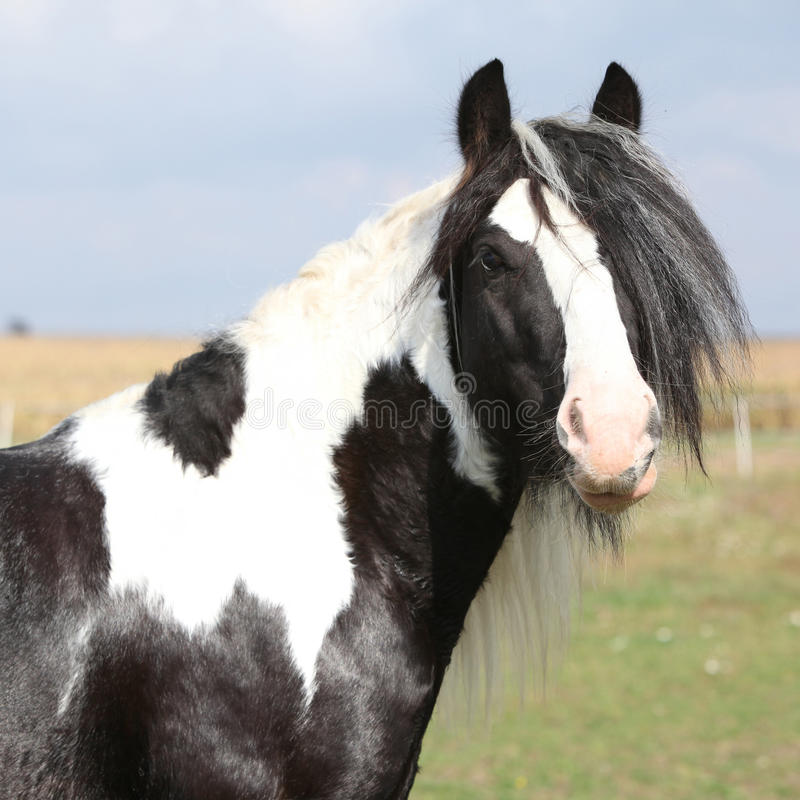 Beautiful irish cob stallion on pasturage. Beautiful irish cob stallion standing on pasturage stock photo