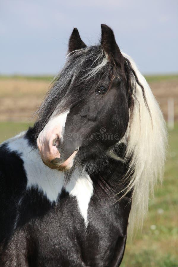 Beautiful irish cob stallion on pasturage. Beautiful irish cob stallion standing on pasturage royalty free stock photography
