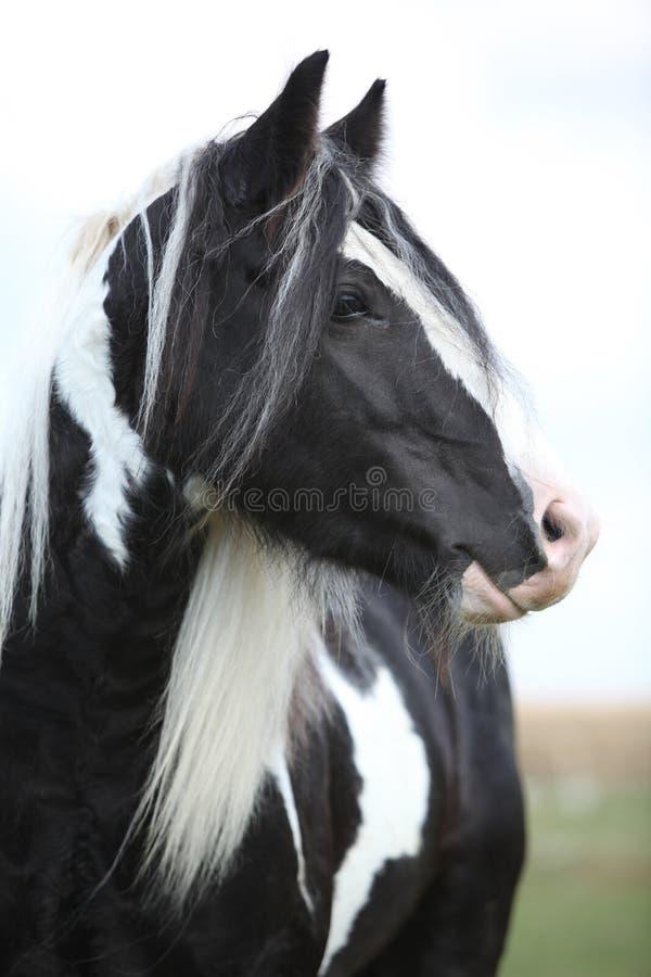 Beautiful irish cob stallion on white background. Beautiful irish cob stallion standing on pasturage royalty free stock photography