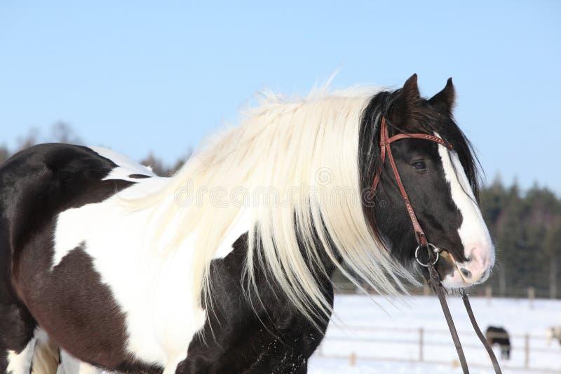 Beautiful irish cob in winter. Portrait of beautiful irish cob stallion in winter stock photography