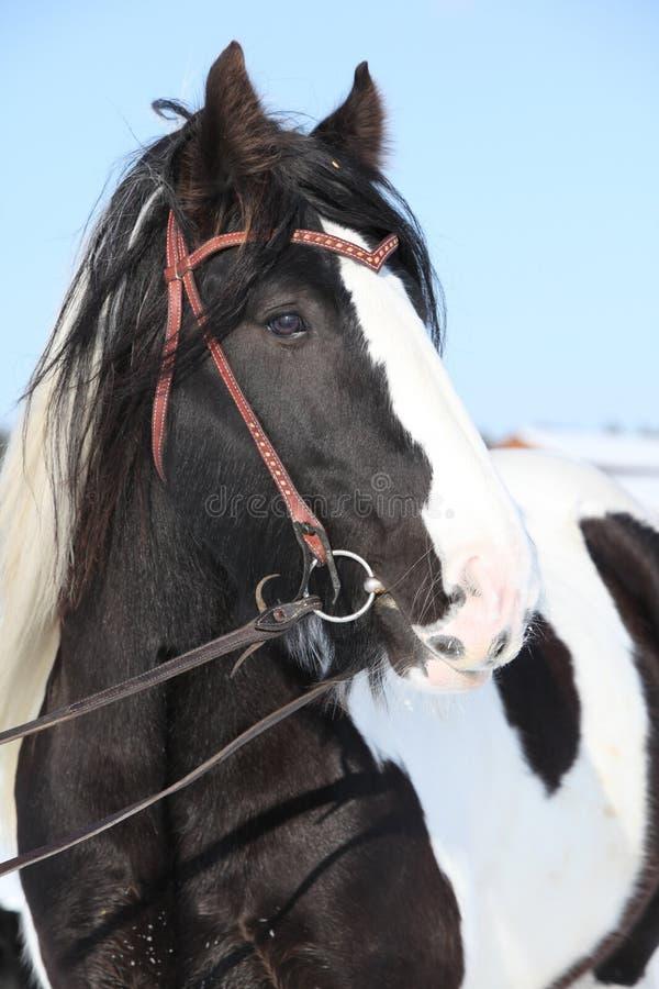 Beautiful irish cob in winter. Portrait of beautiful irish cob stallion in winter royalty free stock photo