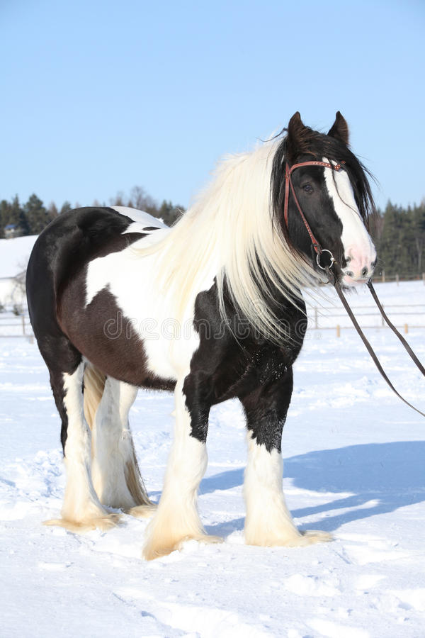 Beautiful irish cob in winter. Portrait of beautiful irish cob stallion in winter stock photo