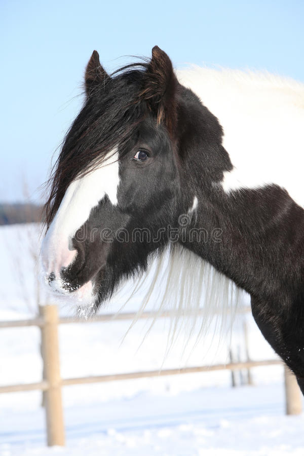 Beautiful irish cob in winter. Portrait of beautiful irish cob stallion in winter stock photos
