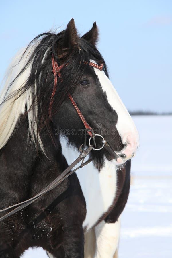 Beautiful irish cob in winter. Portrait of beautiful irish cob stallion in winter royalty free stock images