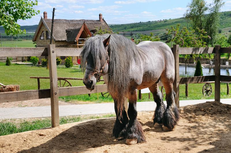 Beautiful Irish horse in an aviary on a ranch. royalty free stock photography