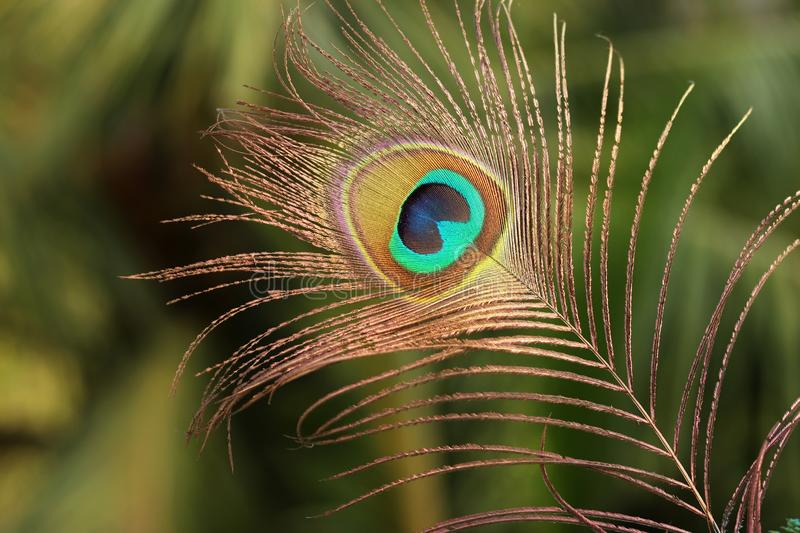 192 Peacock Feather Krishna Photos Free Royalty Free Stock Photos From Dreamstime