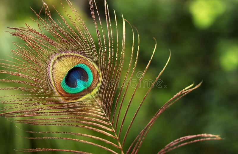 beautiful isolated feather images peacock bird peacock feather beautiful images 157340508