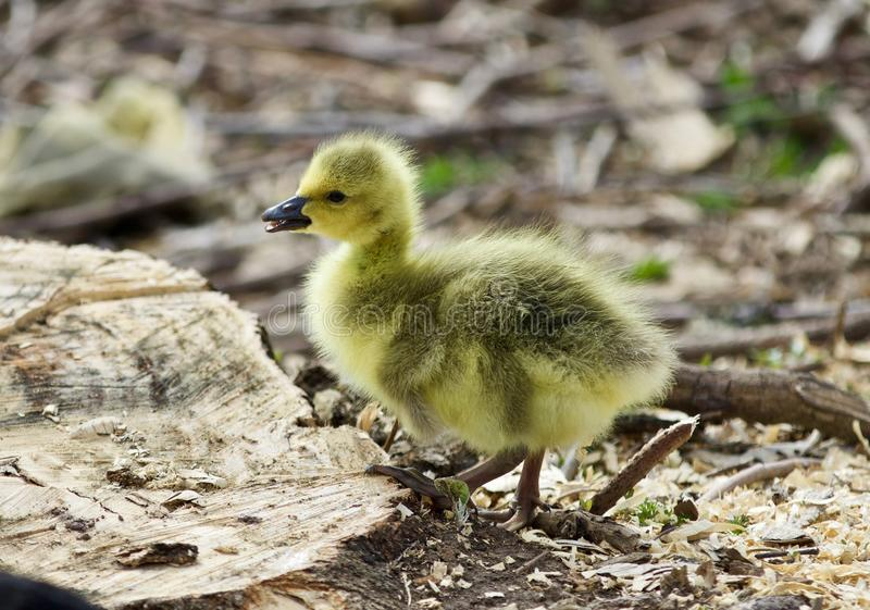 Beautiful isolated image of a cute funny chick of Canada geese on a stump stock photos