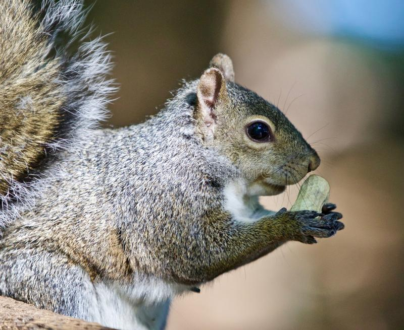 Beautiful isolated photo of a funny cute squirrel with a nut. Beautiful isolated photo of a funny cute squirrel stock photography
