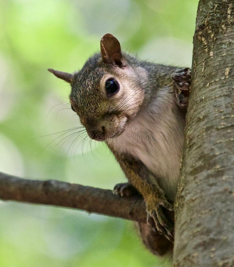 Beautiful isolated photo with a funny cute squirrel on a tree. Beautiful isolated photo of a funny cute squirrel stock images