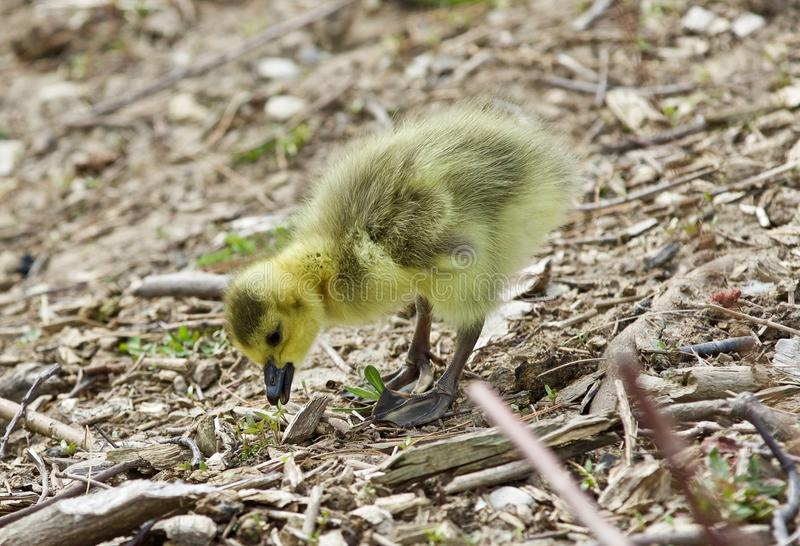 Beautiful isolated picture of a cute funny chick of Canada geese looking at something stock images