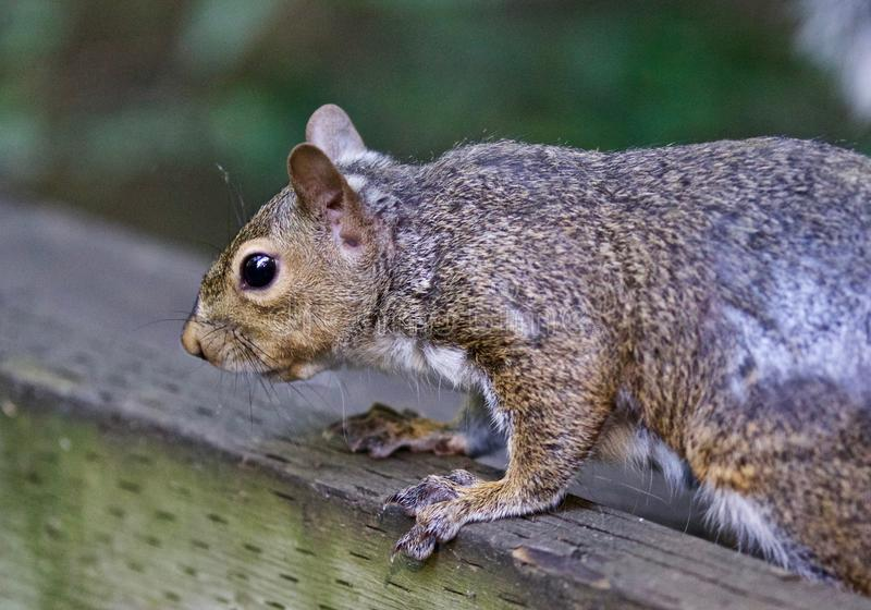 Beautiful isolated picture of a squirrel on the hedge. Beautiful isolated photo of a funny cute squirrel royalty free stock photo