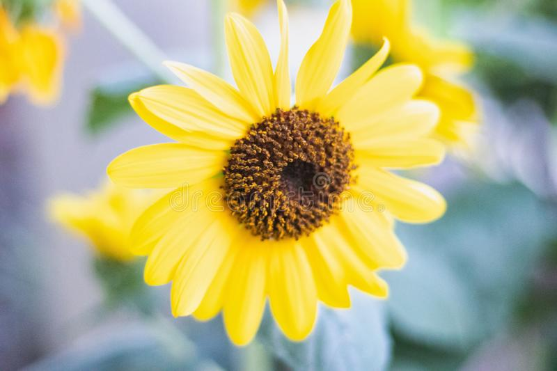 Beautiful isolated yellow flower outdoor in a wild royalty free stock image