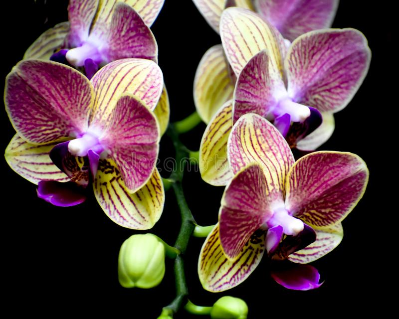 Isolated Yellow and Purple Orchid Flowers, Black Background stock image