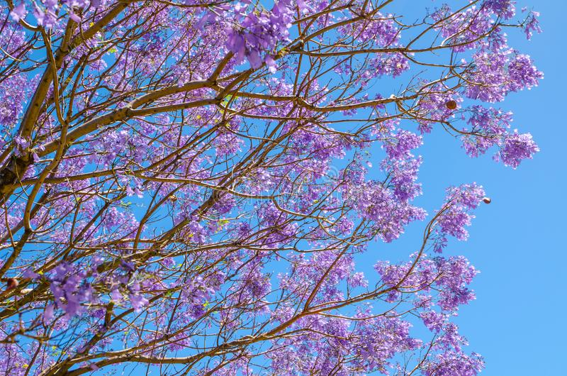 Beautiful Jacaranda purple flower blooming with blue sky in the background. stock photo