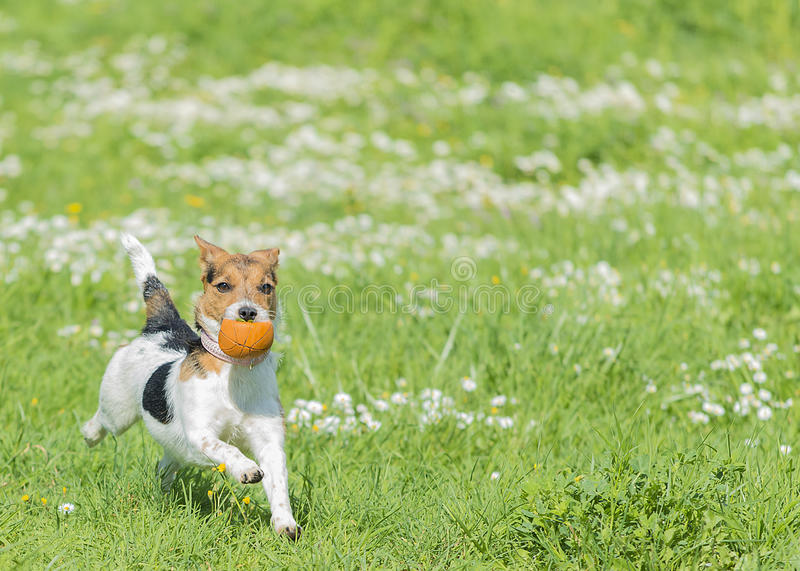 Download Jack Russell Terrier stock photo. Image of flower, play - 30261126