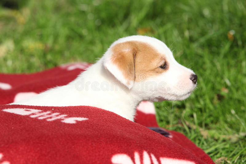 Beautiful Jack Russell Terrier Puppy Lying Stock Photography