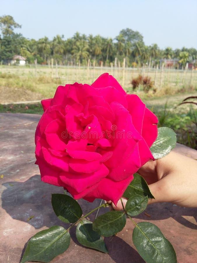 Flower Flower hd red rose Nice flower stock photography