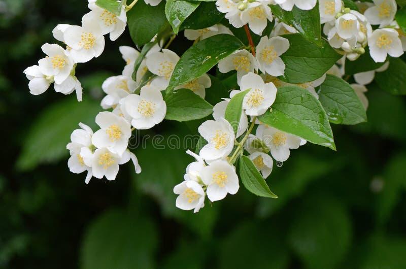 Beautiful jasmin flowers in bloom. Jasmine flowers - background; beautiful jasmin flowers in bloom stock photography