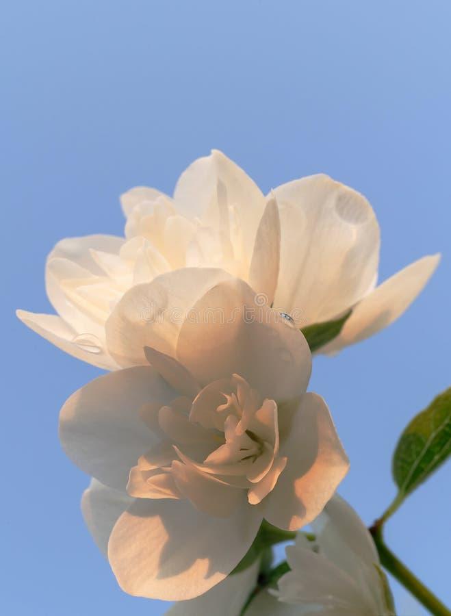 Beautiful jasmine blossom against blue sky in evening sunset light of summer garden. Close-up. Beautiful jasmine blossom against blue sky in warm evening sunset royalty free stock image