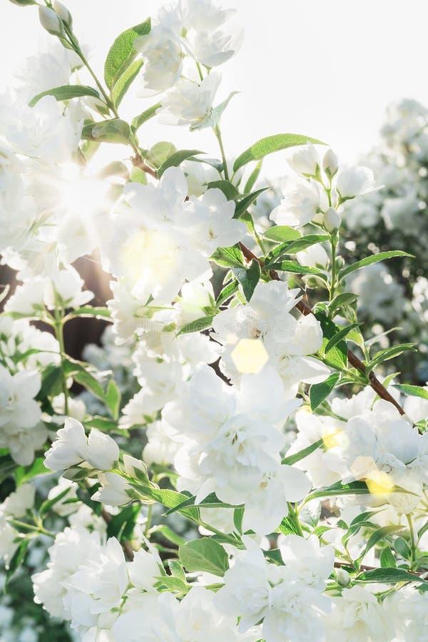 Beautiful jasmine blossom in evening sunset light of summer garden. Sun beams with bokeh through the bush. Beautiful jasmine blossom in warm evening sunset stock image