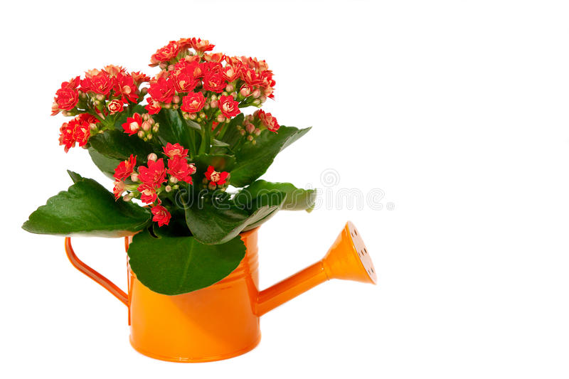 Beautiful jasmine flowers with leaves in watering can royalty free stock images