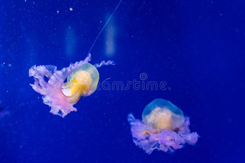 Beautiful jellyfish float in the tanks of an aquarium. In Valencia stock photos