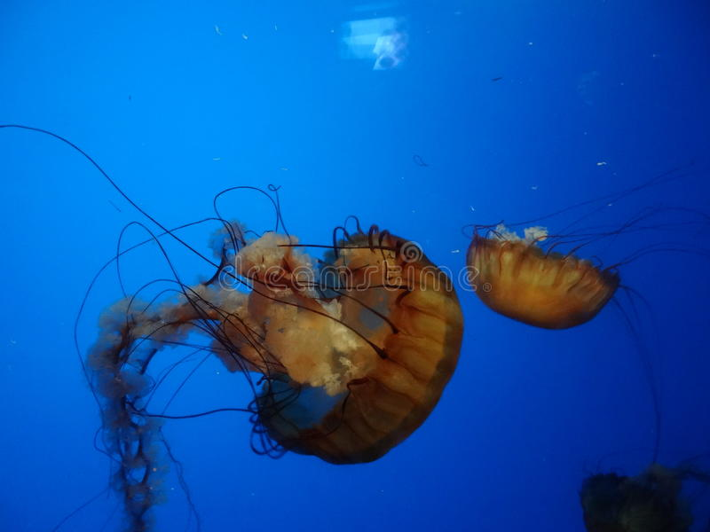 Beautiful Jellyfish stock images