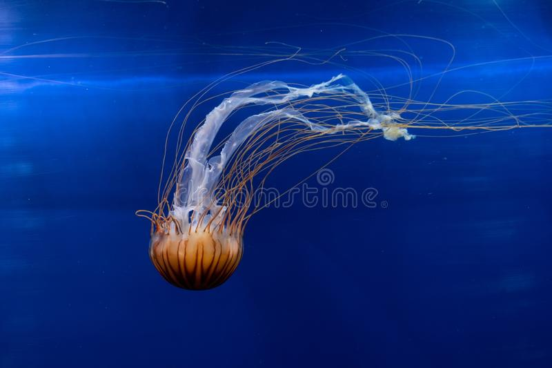 Beautiful jellyfish under the water - great for an article about the underwater world royalty free stock photo