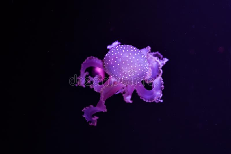 Beautiful jellyfish underwater royalty free stock photography