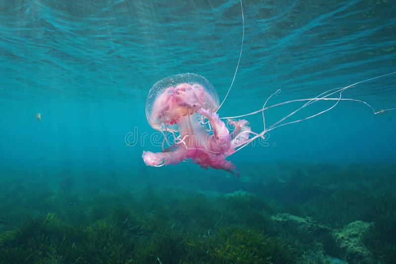 Beautiful jellyfish underwater Mediterranean sea royalty free stock photography