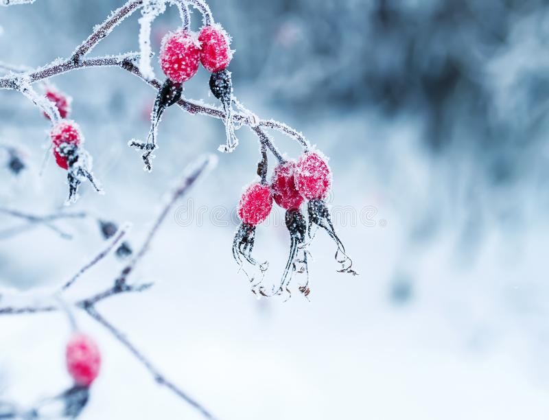 Juicy red rosehip berries hanging in the winter garden covered royalty free stock photos