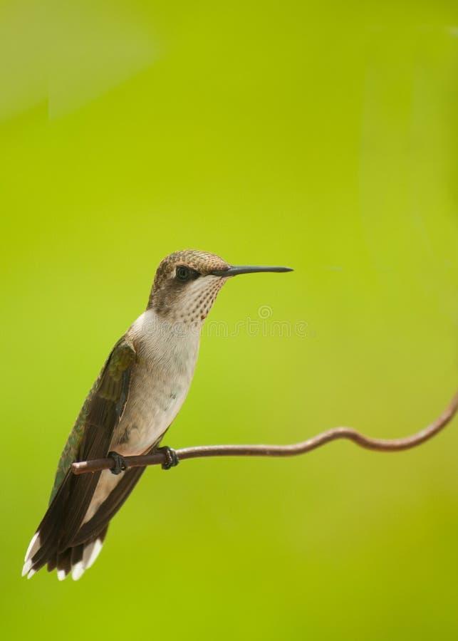 Beautiful Juvenile Male Hummingbird Sitting Royalty Free Stock Photography