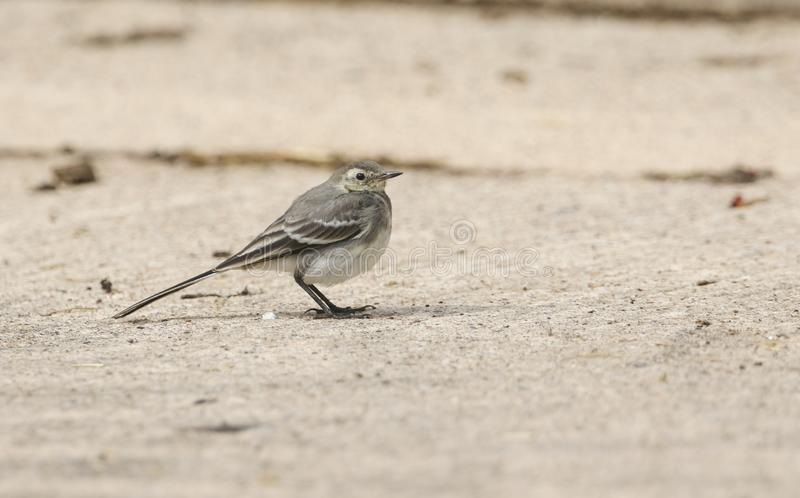 A beautiful juvenile Pied wagtail Motacilla alba perching on the ground hunting for insects to eat. A pretty juvenile Pied wagtail Motacilla alba perching on stock photos