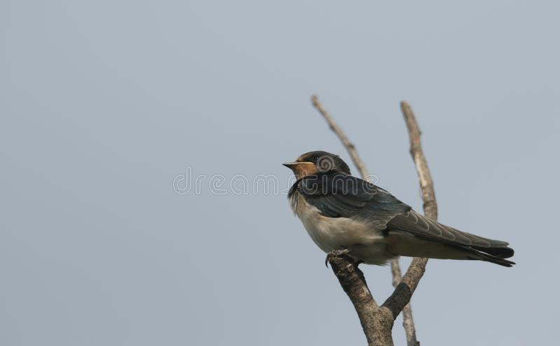 A beautiful juvenile Swallow Hirundo rustica perching on a tree. royalty free stock photos