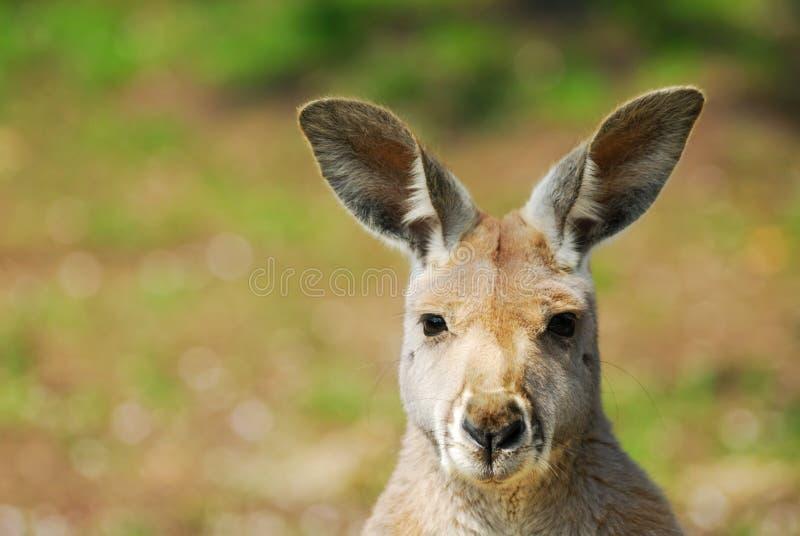 Beautiful kangaroo