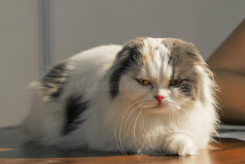 Beautiful kitten of the breed Highland Fold. royalty free stock photos