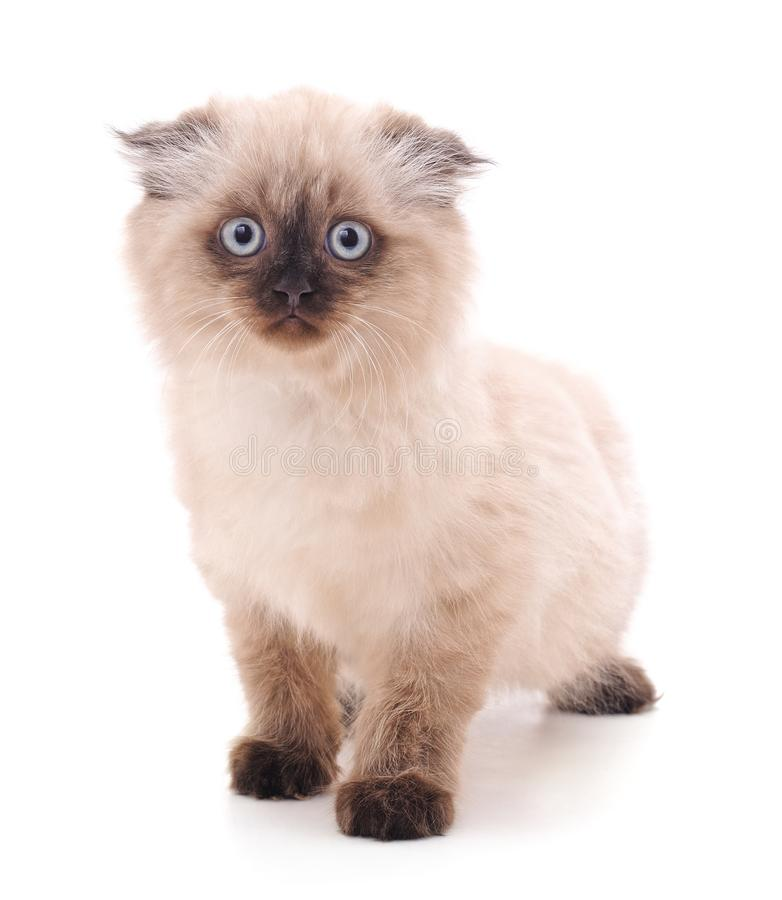 Beautiful kitty with blue eyes royalty free stock photo