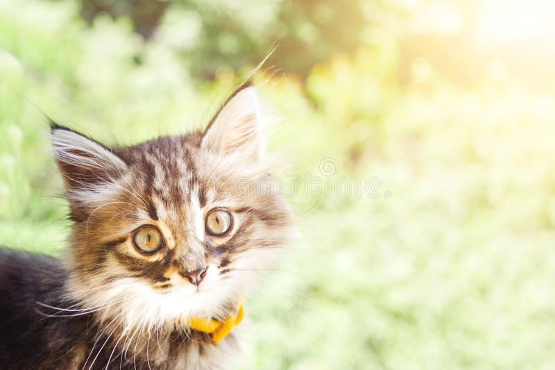 Beautiful kitty cat in the park. Beautiful kitty cat with a smooth gray fur with white specks, long mustaches looks straight to the camera with copy space for stock image