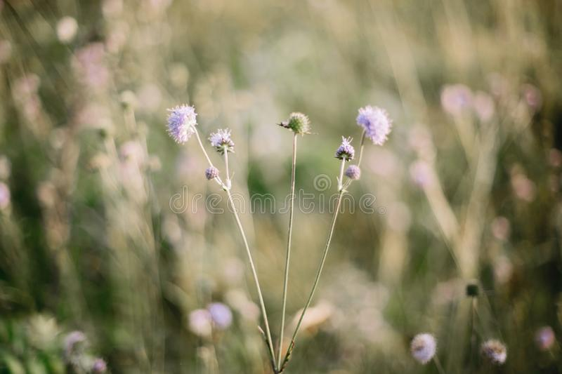 Beautiful knautia arvensis wildflowers in sunny meadow on hills  in mountains. Gathering flowers and herbs, rural simple life in royalty free stock photos