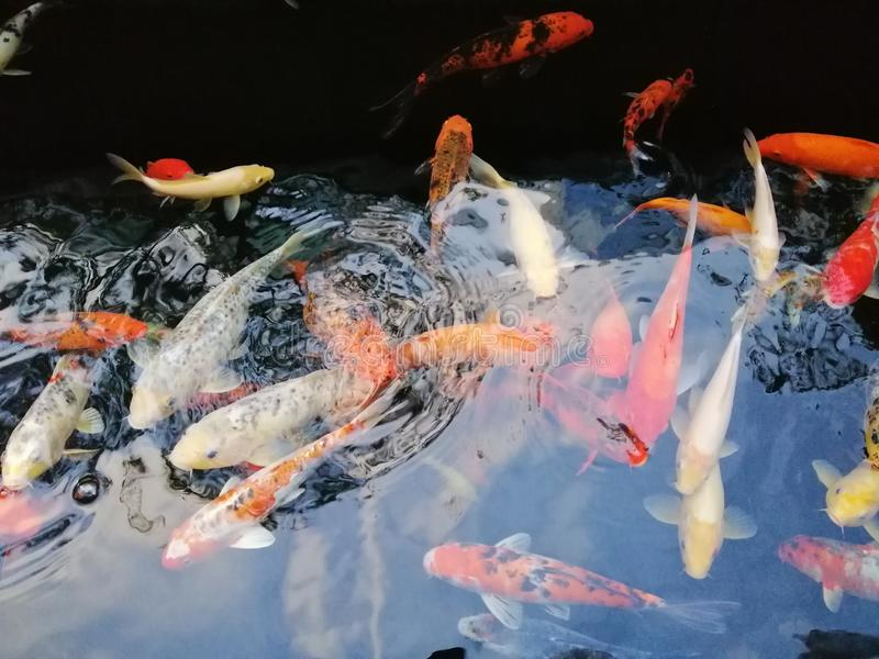Beautiful koi fish show off their colors royalty free stock image