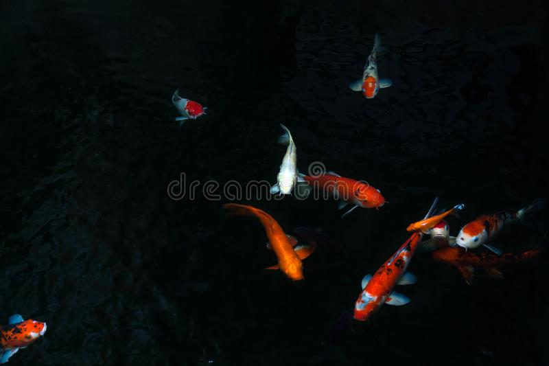The beautiful koi fish swimming in dark pool,Fancy carps fish or Koi swim in pond in the garden royalty free stock photos