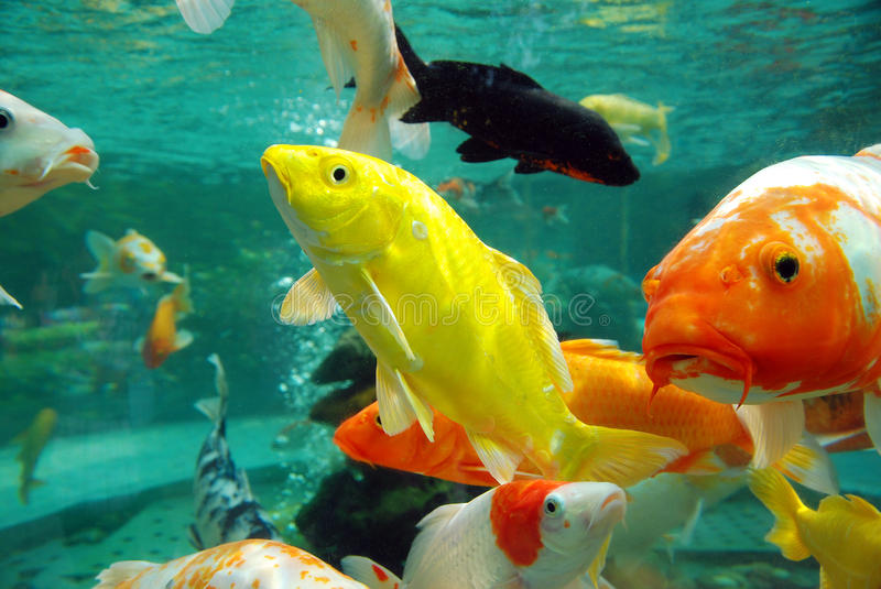Download Beautiful koi in the water stock image. Image of feed - 27471471