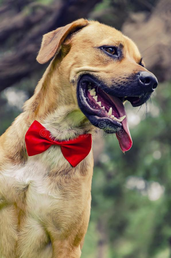 Beautiful Labrador retriever. With red bow isolated on park background royalty free stock photos