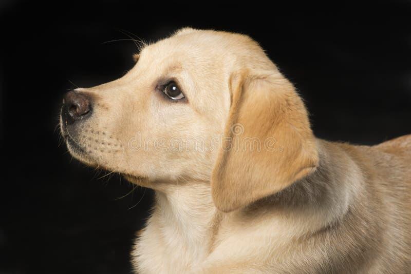 Beautiful Labrador retriever on black background stock image